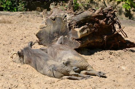 berlin zoo 2014 warzenschweine zoo berlin 28 04 2014 tier fotos eu