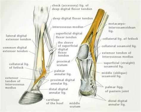 suspensory desmitis  horses musculoskeletal system