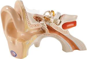 human ear models highly detailed