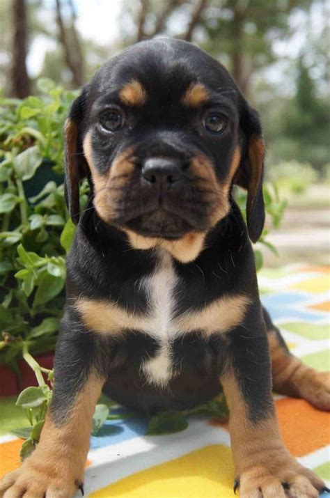 black puggle puppies black and brown puggle www pixshark images galleries with a bite