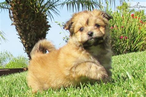 maltipom puppies malti pom maltipom puppy for sale near san diego california 32e47774 0701