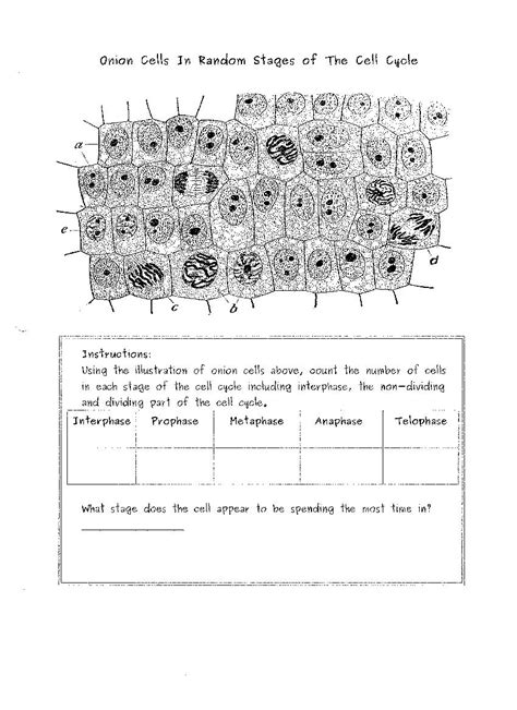Mitosis Worksheet Answer Key by Mitosis Meiosis Comparison Worksheet Abitlikethis