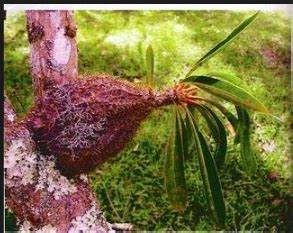 pengertian tumbuhan epifit  contohnya riyanpedia