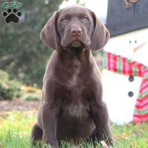 gsp puppies for sale in pa german shorthaired pointer puppies for sale greenfield puppies
