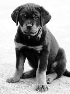 rottweiler pencil drawing 1000 images about rottweiler on rottweilers pencil drawings and