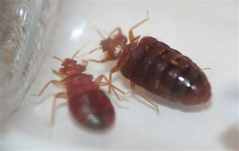Bed Bug Images Pictures by Bed Bug Exterminator In Bay Area Bed Bug Pest By