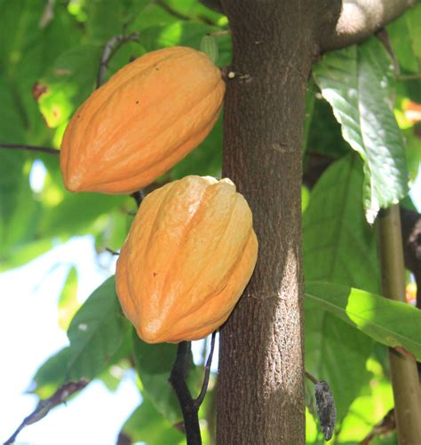 cocoa tree fruit garden at gibney st islands st
