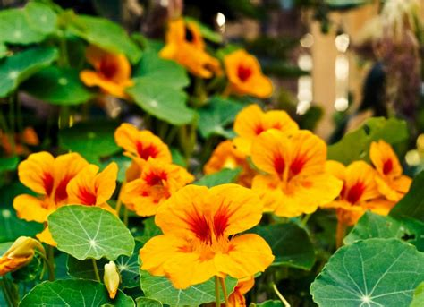 plants that repel aphids nasturtiums plants that repel insects 10 options for