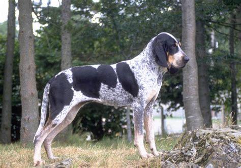 grand dogs brave bleu de gascogne grand photo and wallpaper beautiful brave bleu de gascogne