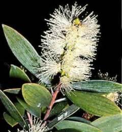 Pasaran Minyak Kayu Putih tips khasiat minyak kayu putih 4roda