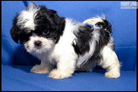 malshi puppies for sale near me mal shi malshi puppy for sale near mcallen edinburg e5e6cc06 1b71