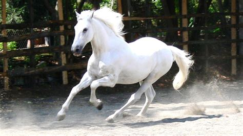 white mustang horse horses images white horse hd wallpaper and background