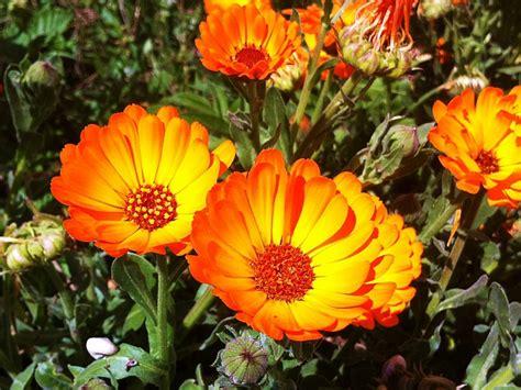 imagenes flores naranjas margaritas naranjas