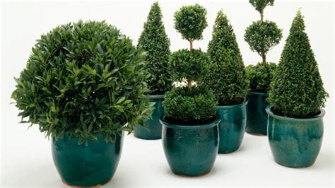 plant guide christmas trees life and lifestyle