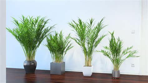 palme da terrazzo areca palm vizpark