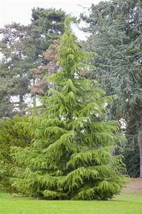 growing the deodar cedar cedrus deodara