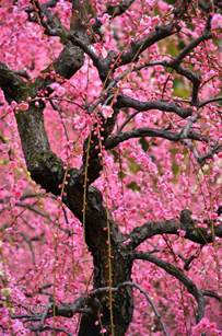 the 25 best ideas about japanese plum tree on pinterest