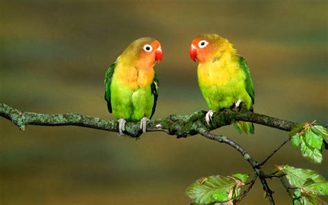 bird couple wallpaper hd parrot wallpapers wallpaper cave