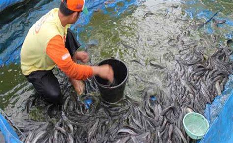 Bibit Lele Di Riau syamsuar tinjau budidaya lele bioflok di kung sialang palas