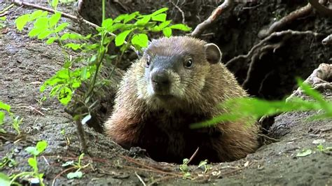groundhog day hd popcorns true facts about the groundhog