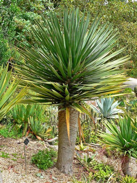No Sun Plants Indoor by Plantwerkz Dragon Tree Dracaena Draco