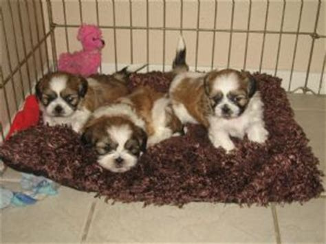 how to if a shih tzu is purebred shih tzu puppies purebred assistedlivingcares