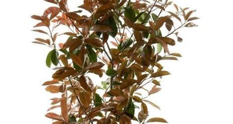 photinia in vaso photinia siepe piante da giardino photinia siepe