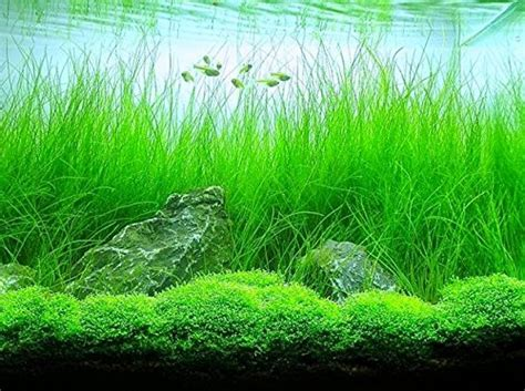 potted hairgrass easy aquatic live plant aquarium