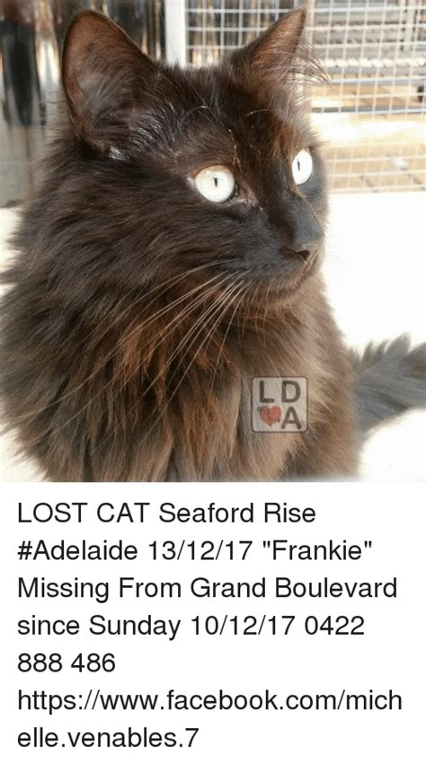 Missing Cat Meme - lost cat seaford rise adelaide 131217 frankie missing