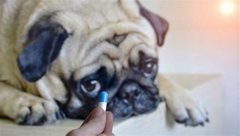 can dogs amoxicillin antibiotics for dogs can you give dogs human antibiotics