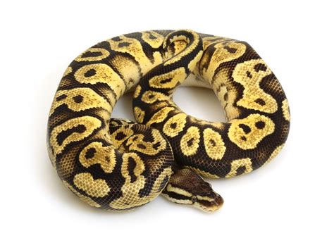 Yellow Belly pastel yellow belly python