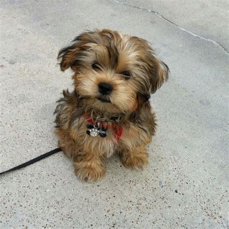 shorkie puppies shorkie quot jax quot shorkie ʂɧoɽƙie jᎪx photos and i want