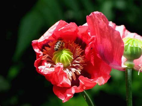 poppy flower pic with green eye jpg hi res 720p hd