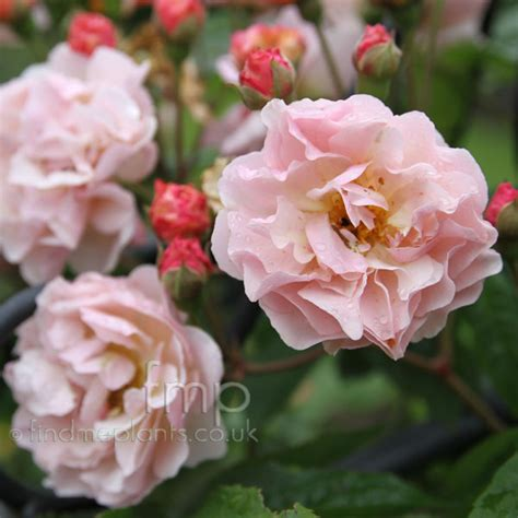 Net Name Search Florida A Large Image Of Rosa Cornelia Fl From Plant Encyclopedia