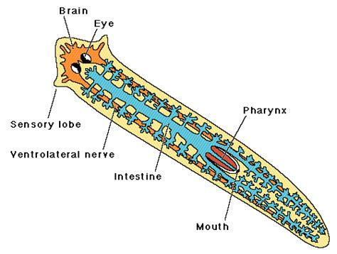 diagram of platyhelminthes planarian characteristics