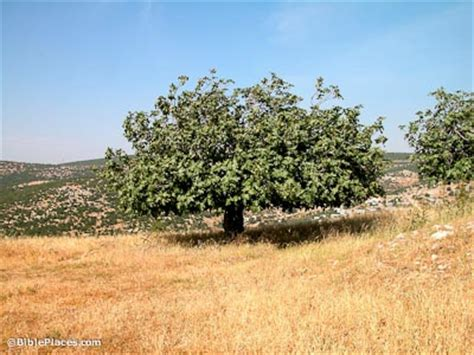 tree in bible fig trees bibleplaces