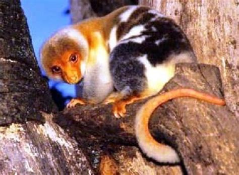 22 best The Cuscus images on Pinterest   Rare animals ...