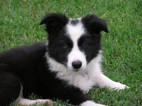 free border collie puppies border collie puppies 72 free wallpaper dogbreedswallpapers