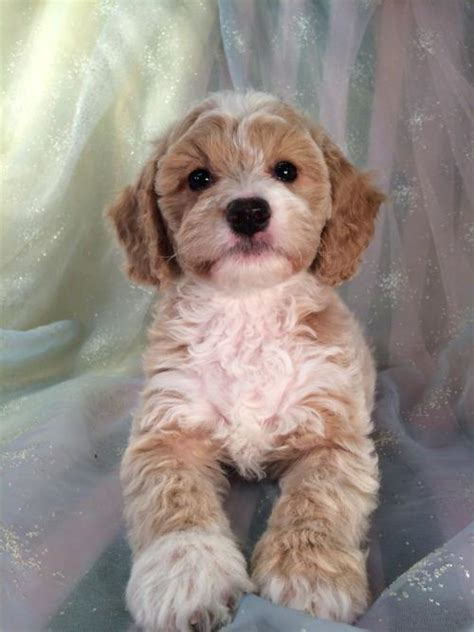 cockapoo puppies illinois iowa s top breeder has cockapoo puppies ready now