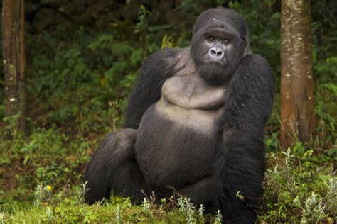 Endangered Species: Gorillas Gorillas Face Greater Threat