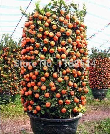 Bibit Benih Seeds Buah Markisa Oren Orange Fruit 457 best images about bonsai fruit on