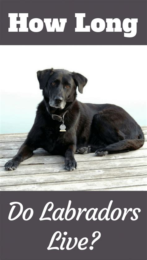 how do dogs live for how do labs live average labrador lifespan the oldest