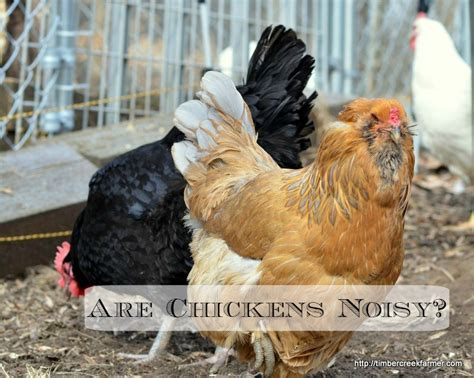 quiet chickens for backyards quiet chickens what breeds to choose in the suburbs coops