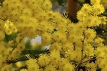 pianta mimosa in vaso piante di ulivo piante da frutto mimosa in vaso