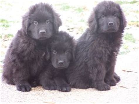 newfoundland puppies for sale in mi newfoundland puppies in michigan