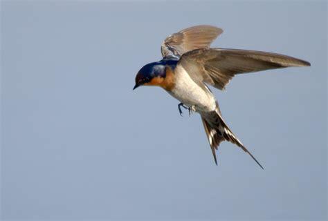 Pakan Burung Walet mp3 suara pemanggil burung walet untuk pancingan