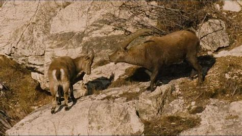 Animal Matting by Animals Mating Stoned Animals Chamois Deer G 228 Mse