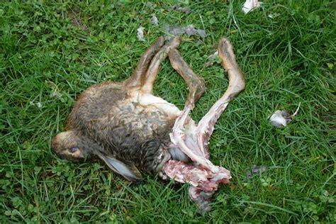 Search Dead Dead Rabbit Photos Images