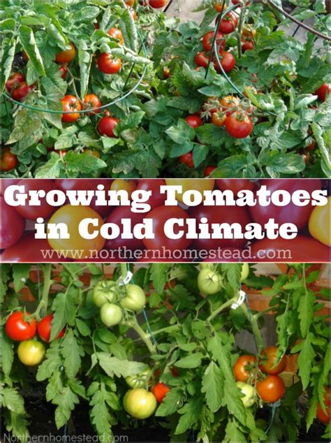 growing tomatoes in cold climate northern homestead