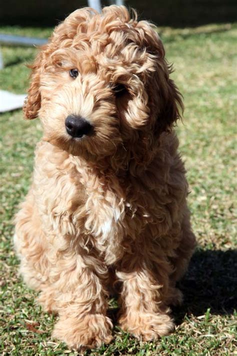 labradoodle puppy gaga labradoodles puppies for sale dogs for adoption family pets
